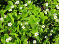 Bright green strawberry leaves and white flowers