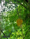 Bright green vine background and one single yellow leaf view Royalty Free Stock Photo