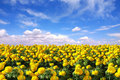 Bright Happy Field of Marigold Flowers Royalty Free Stock Images