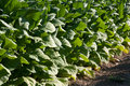 Bright leaf tobacco field detail Royalty Free Stock Photos