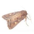 Bright-Line Brown-Eye Moth (Night Fly) Royalty Free Stock Image