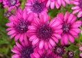 Bright magenta colored daisies Royalty Free Stock Photo