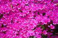 Bright magenta rhododendron flowers azalea flowers Royalty Free Stock Photo