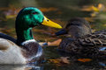 Bright Mallard Pair Royalty Free Stock Photo