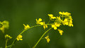 Bright mustard flowers Royalty Free Stock Photo