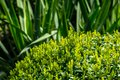 Bright new green foliage of boxwood Buxus sempervirens with dark green thickets of Yucca filamentosa