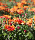 Bright orange Chrysanthemum flowers Stock Photos