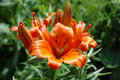 Bright orange garden lily. Stock Images