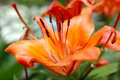 Bright orange garden lily. Royalty Free Stock Photography