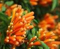 Bright Orange Honeysuckle (Lon...