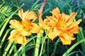 Orange Lilly flower Royalty Free Stock Photo