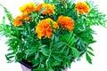 Bright orange marigolds in plastic pots Royalty Free Stock Photo