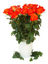 Bright orange roses in vase isolated on white background Royalty Free Stock Images