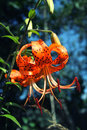 Bright orange tiger Lily close up Royalty Free Stock Photo