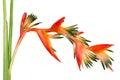 Bright orange tropical flower bird of paradise isolated on white background Stock Photography