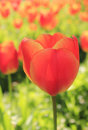 Bright orange tulip blossom closeup of blossoms scientific genus tulipa Stock Images