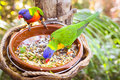 Bright parrot is feeding from bowl with seeds in Loro Park (Loro Royalty Free Stock Photo