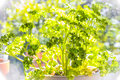 Bright parsley plant window pot ready to garnish Stock Photos