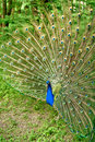 Bright peacock Royalty Free Stock Photos