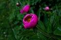 Bright peony flower in garden Royalty Free Stock Photo