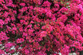 Bright Pink Bougainvillea Royalty Free Stock Photo