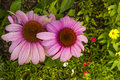 Bright Pink Coneflowers (Echinacea) Royalty Free Stock Photo