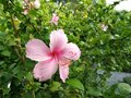 Bright pink flower of purple hibiscus on green leaves natura Royalty Free Stock Photo