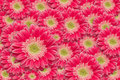 Bright Pink Gerber Daisies with Water Drops Royalty Free Stock Photo
