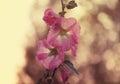 Bright pink hollyhock flower in garden. Royalty Free Stock Photo