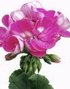 Bright Pink Pelargonium Flower