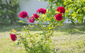 Bright pink roses Royalty Free Stock Photo