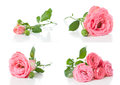 Bright pink roses collage isolated flowers and buds on a white background Stock Image