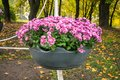 Bright pink varietal chrysanthemums in a big pot in an autumn pa Royalty Free Stock Photo