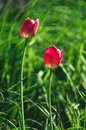 Bright pink wild tulips on the background of a green summer meadow
