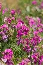 Bright Pink Wild Vetch Flowers...