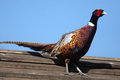 Bright Pleasant pheasant Royalty Free Stock Photo