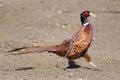 Bright Pleasant pheasant Royalty Free Stock Photo