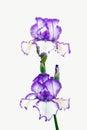 Bright Purple Bearded Iris
