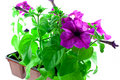 Bright purple petunia in plastic pots Royalty Free Stock Photography