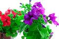 Bright purple and red petunia in plastic pots Stock Photos