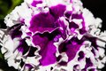 Bright purple terry petunia flower in the garden close-up