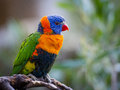 Bright Rainbow Lorikeet parrot Royalty Free Stock Photo