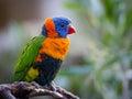 Bright Rainbow Lorikeet parrot Royalty Free Stock Photo