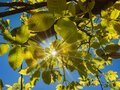 The bright rays of the sun make their way through the green leaves of a walnut. Royalty Free Stock Photo