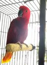 Bright red African parrot Royalty Free Stock Photo