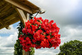 Bright red begonia flowers in a hanging basket. Royalty Free Stock Photo