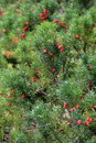 Bright Red Berries On Green Sh...
