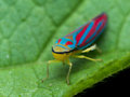 Bright red and blue  leaf hopper on green leaf Royalty Free Stock Photo