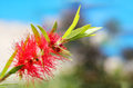 Bright red bottle brush callistemon flower with sky background in this brilliant pretty cluster is cylindrical in shape Stock Photo