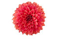 Bright red decorative stellar dahlia flower isolated over white background Royalty Free Stock Image